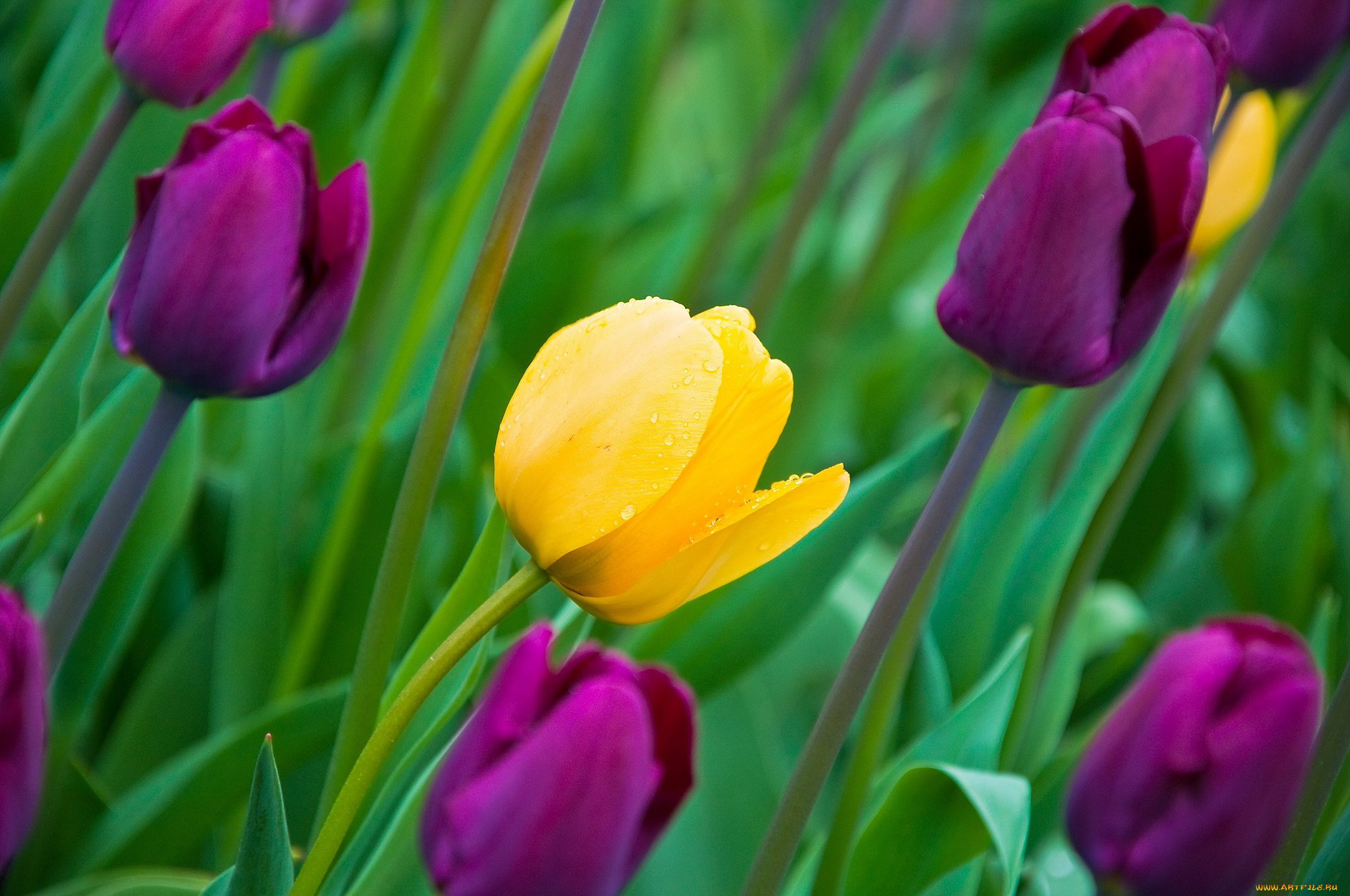 Фиолетовые тюльпаны в саду без смс