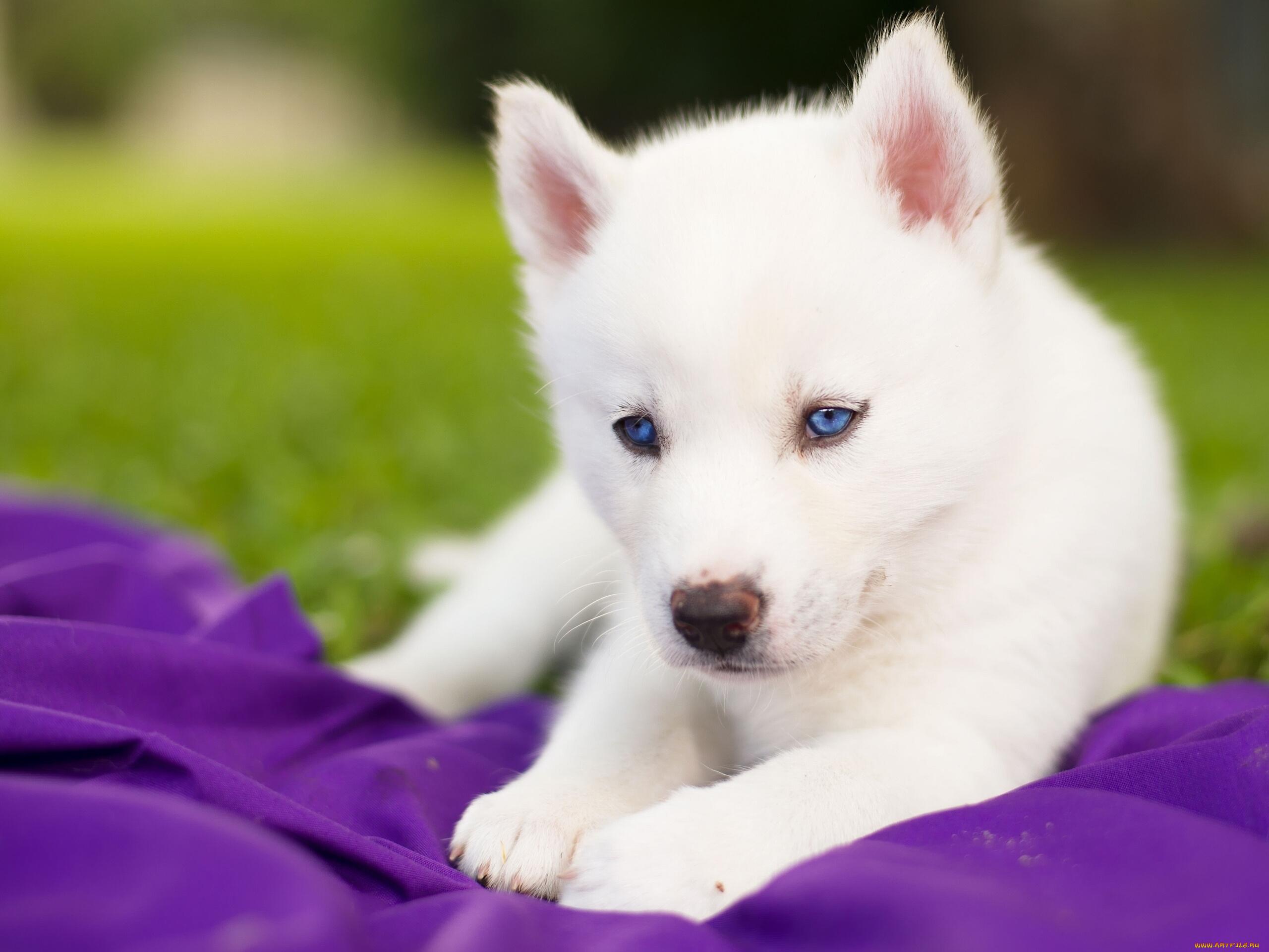 белые собаки щенки животные розовый фон  № 2918153 без смс