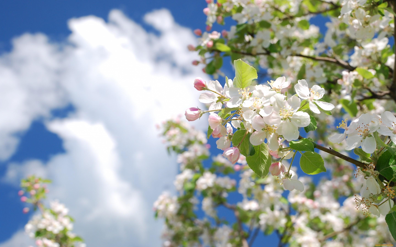 Открытки с цветущей яблоней весной, утро картинки