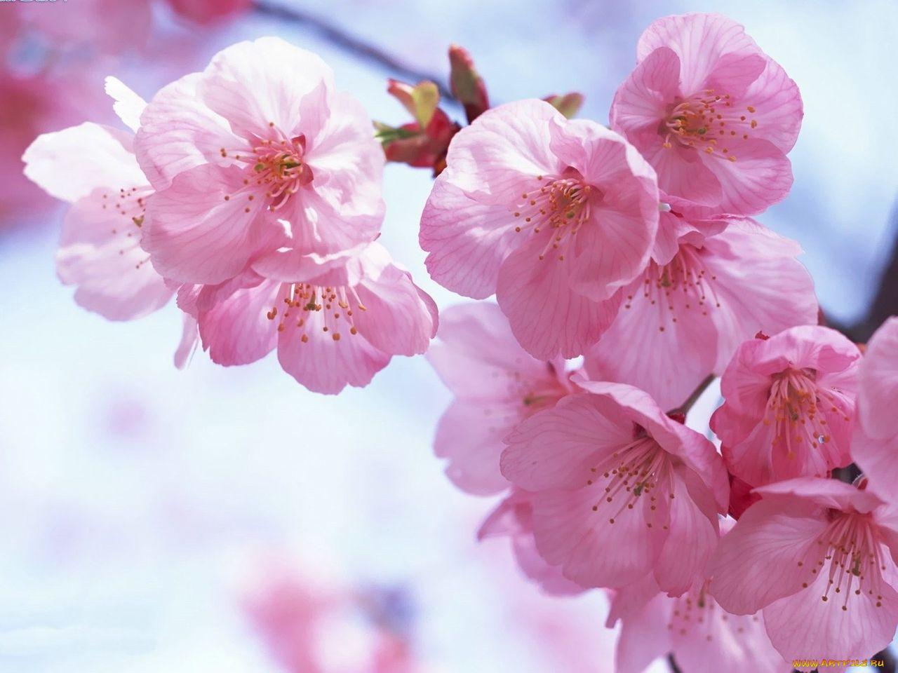 Открытки с цветущей сакурой