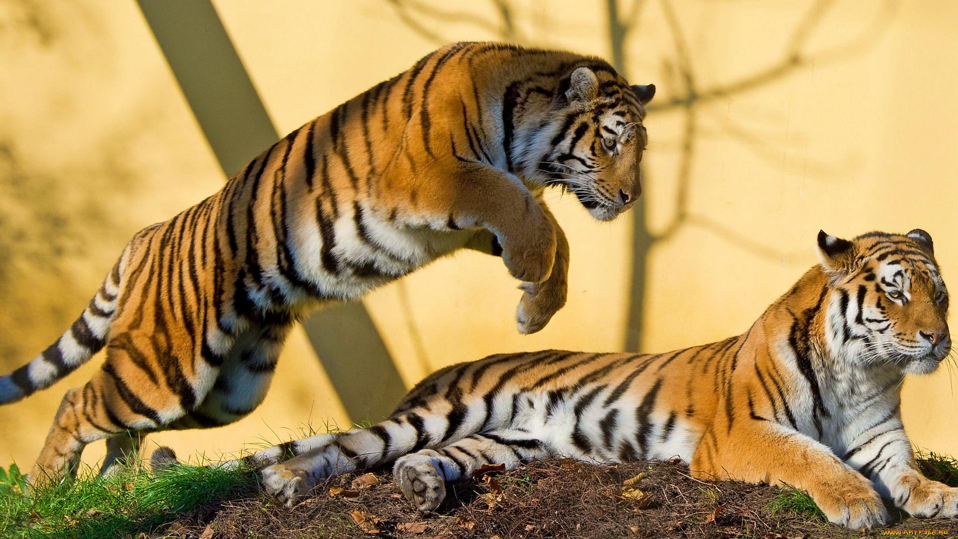 Тигр хвост без смс