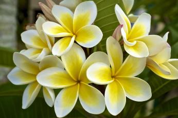 Картинка цветы плюмерия тропики