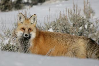 обоя животные, лисы, снег, лиса