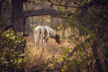 обоя животные, лошади, конь, лес, поляна, пасётся, свет, листва, трава