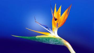 обоя цветы, стрелиция , райская птица, экзотика