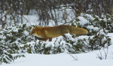 обоя животные, лисы, лес, рыжая, зима, снег, мех, профиль