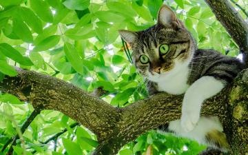обоя животные, коты, серый, кот, с, зелеными, глазами, сидит, на, ветке