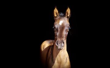обоя животные, лошади, жеребенок, буланый, тень