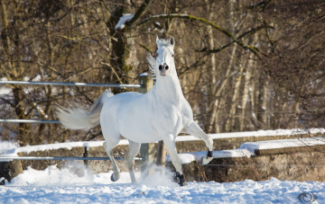 обоя автор,  oliverseitz, животные, лошади, конь, белый, движение, бег, грация, сила, красота, поза, позирует, игривый, снег, загон, зима