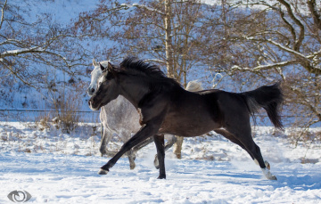 обоя автор,  oliverseitz, животные, лошади, кони, серый, вороной, двое, пара, бег, галоп, загон, зима, снег