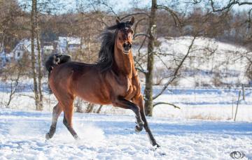 обоя автор,  oliverseitz, животные, лошади, конь, гнедой, грива, бег, движение, грация, сила, поза, позирует, зима, снег, загон, игривый