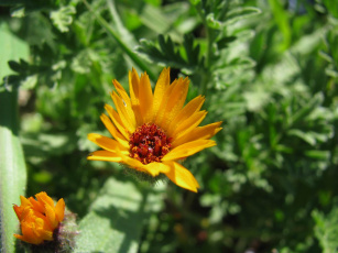 Картинка цветы календула