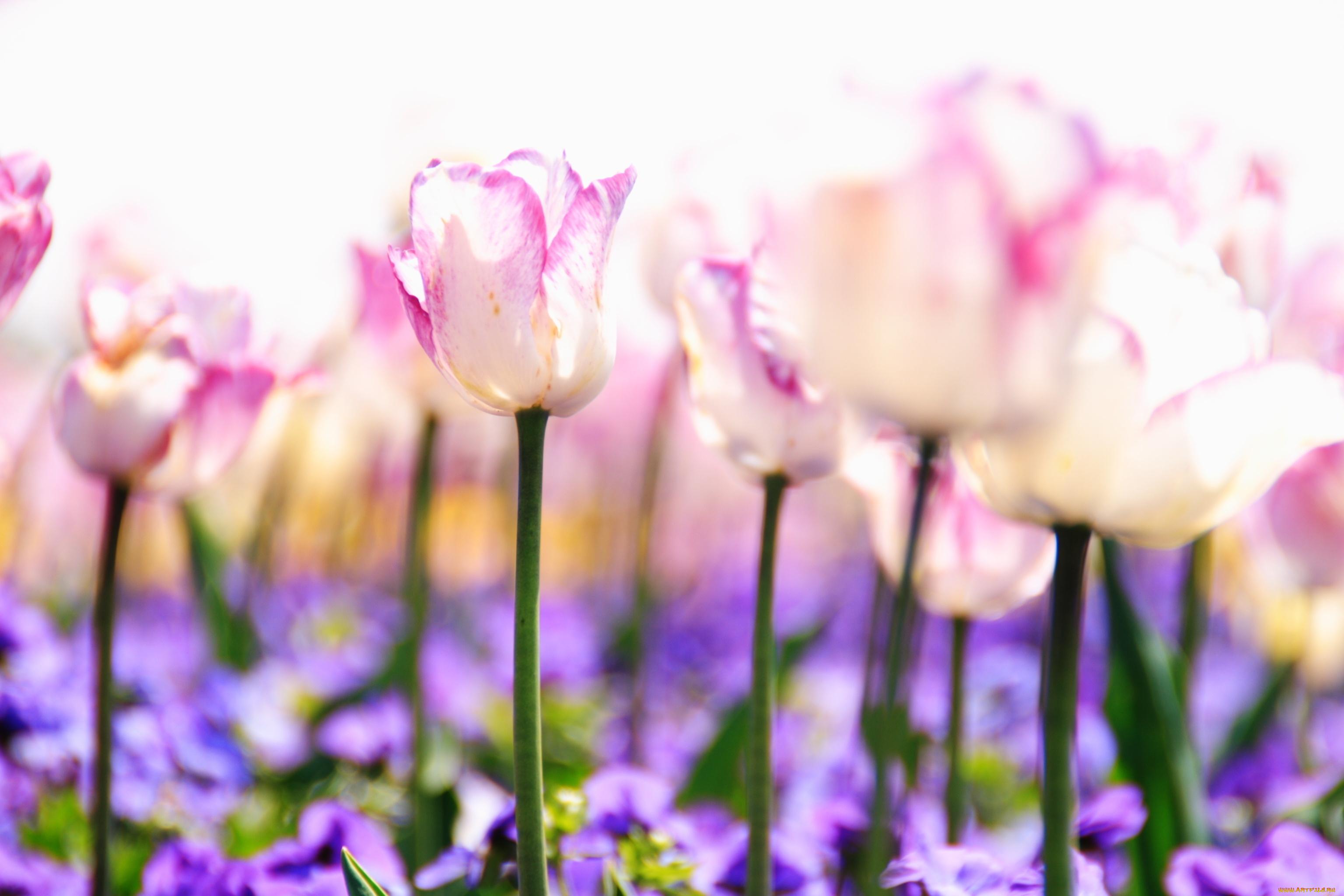 Фиолетовые тюльпаны в саду  № 1325915 без смс