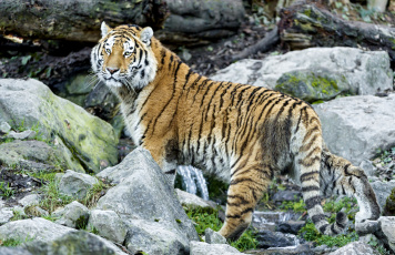Картинка животные тигры камни хищник взгляд