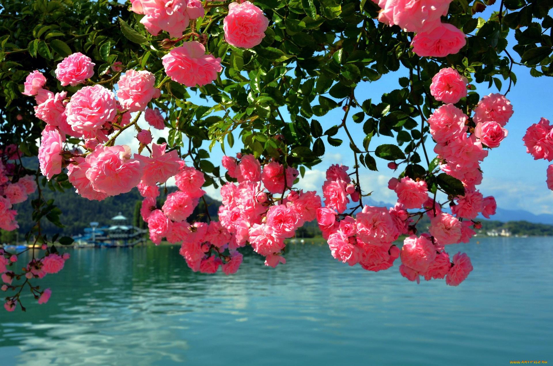 Картинки море цветов из роз, для лучшего