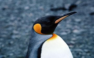 обоя животные, пингвины, профиль, клюв, пингвин, голова