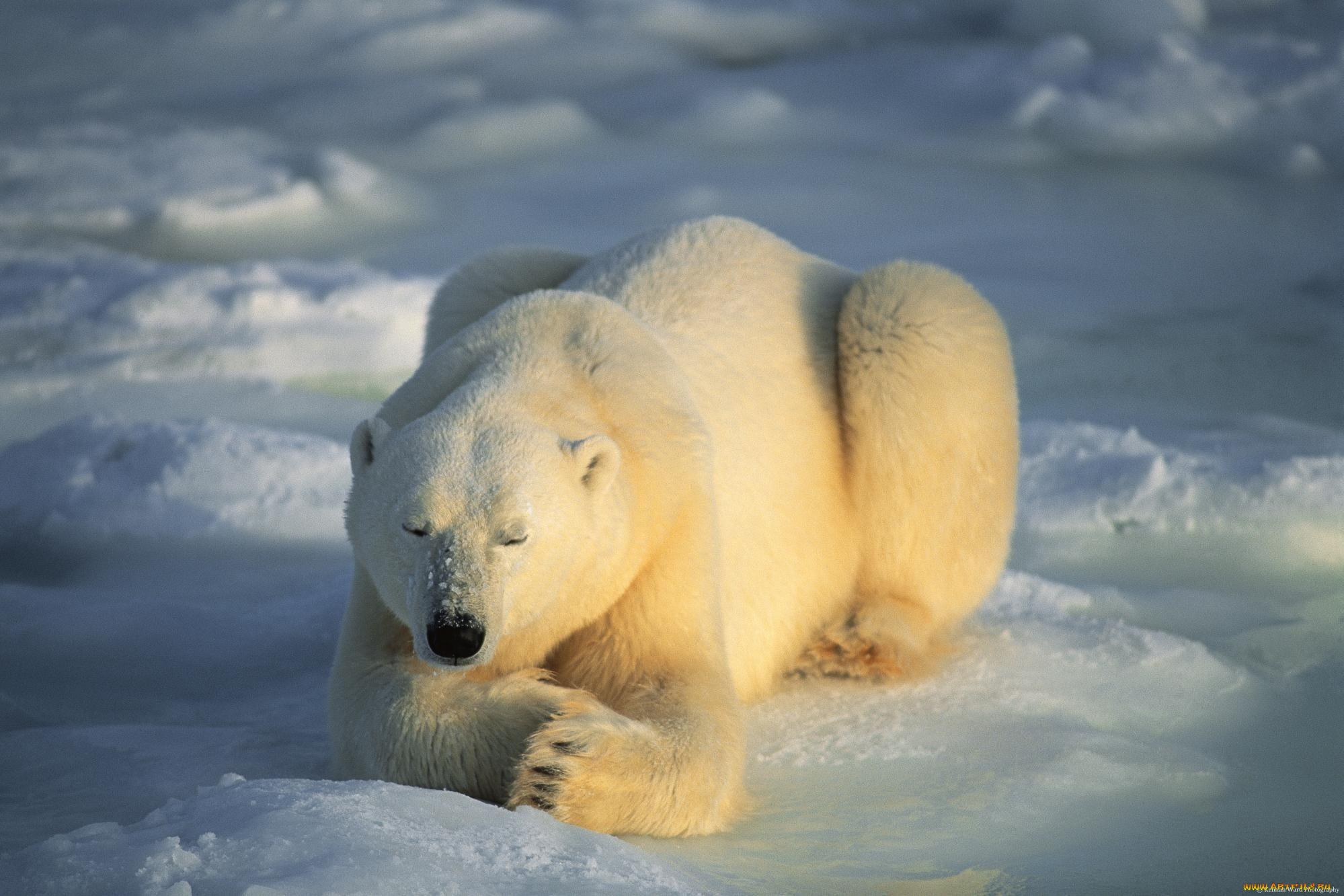 зевок белого медведя загрузить