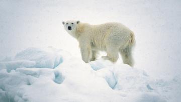 Картинка животные медведи арктика polar bear белый медведь