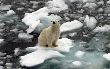 Картинка животные медведи белый медведь polar bear льдины на льдине