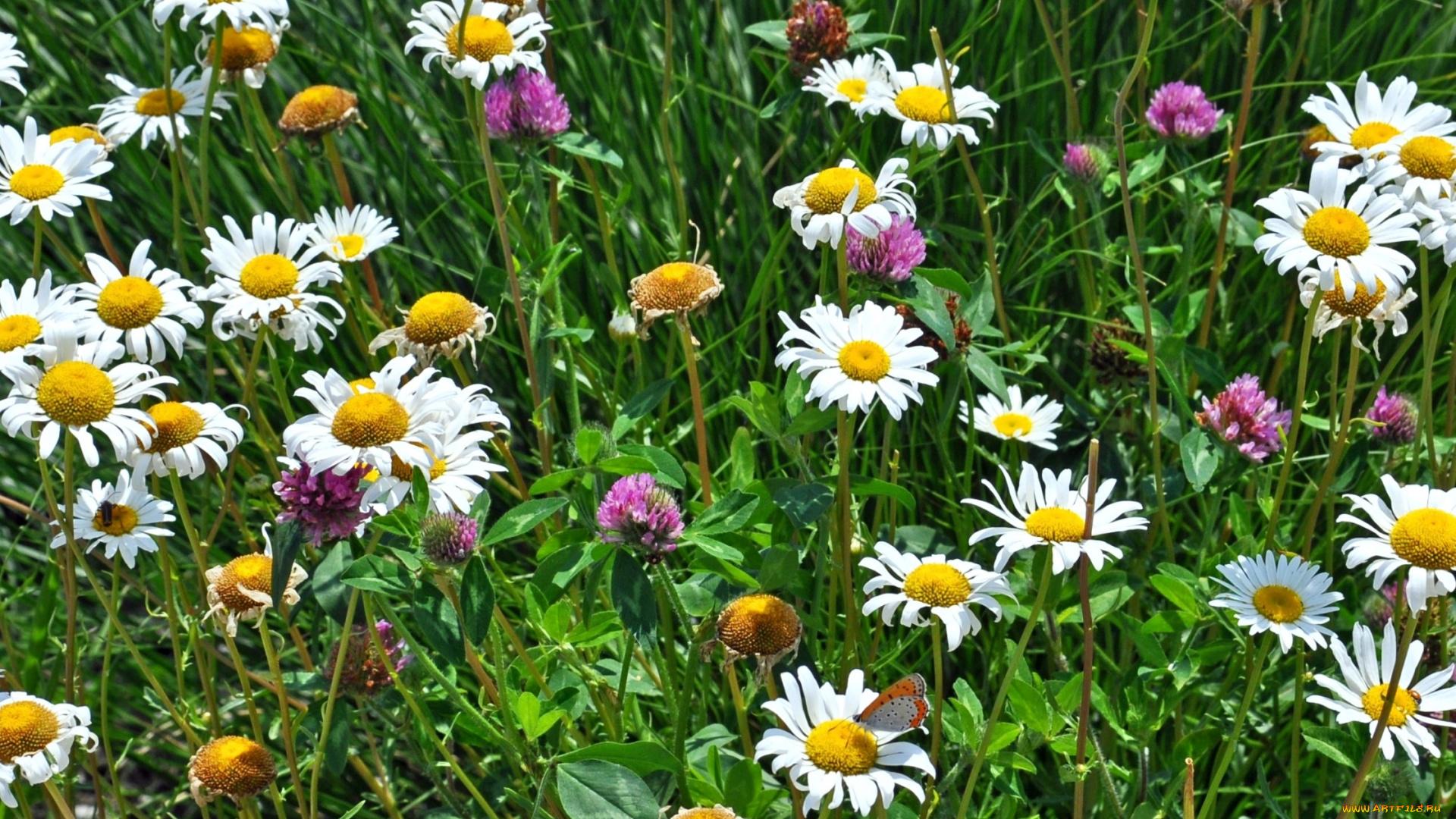 Картинки полевые и луговые цветы ромашки, картинки