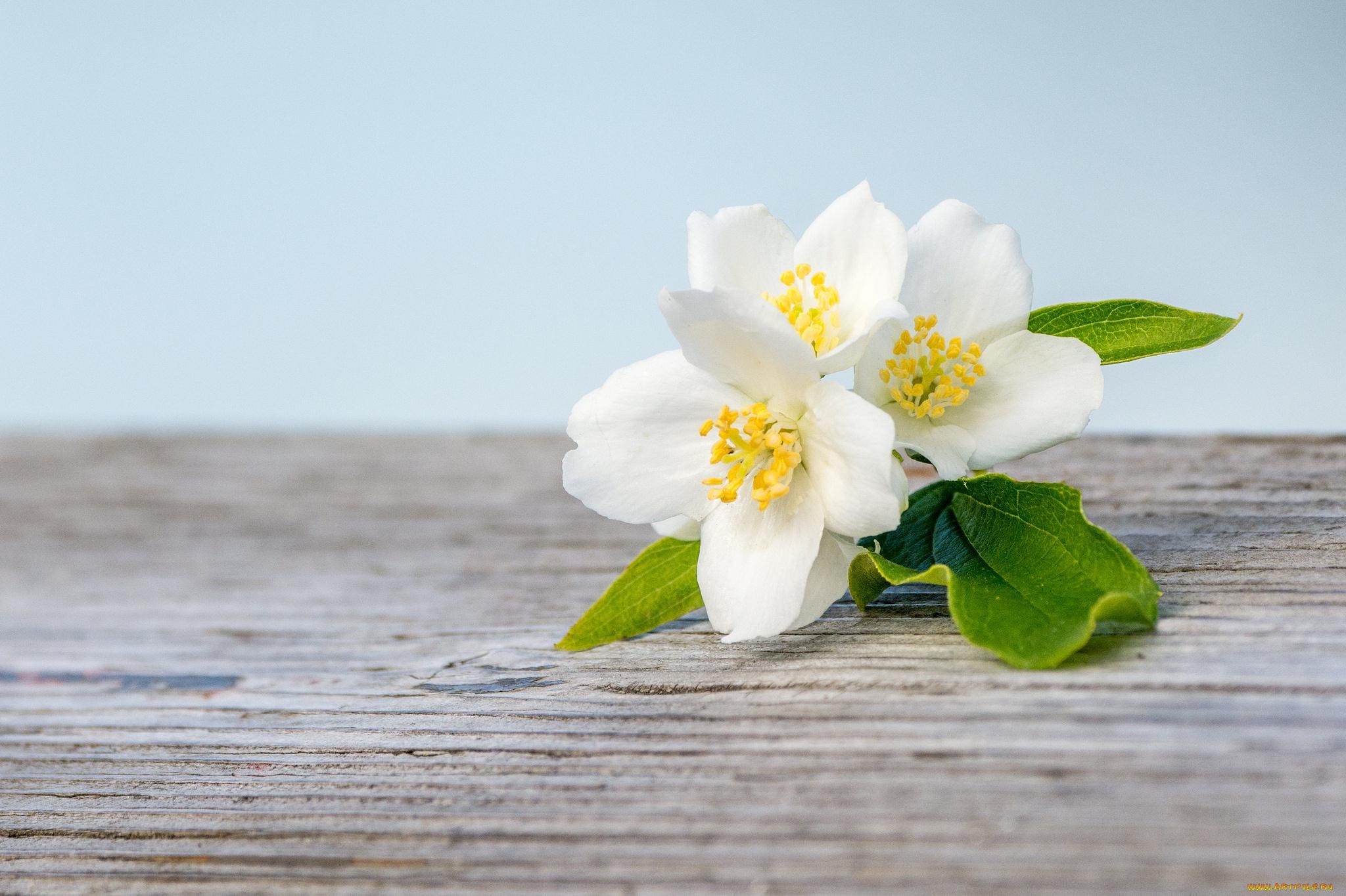 Цветы жасмин открытка, думаю
