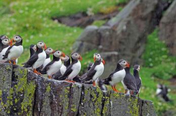 обоя животные, тупики, тупик, птица, перья, окрас