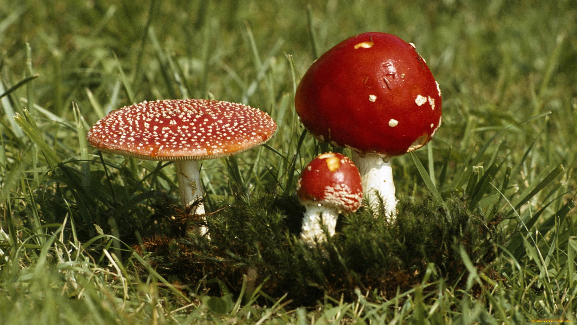 Сыроежки грибы загрузить