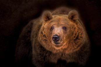 обоя животные, медведи, медведь, топтыгин, тёмный, фон, портрет