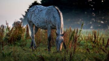 обоя животные, лошади, пасётся, утро, трава, пастбище, конь
