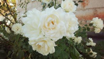 Картинка цветы розы обои зелень