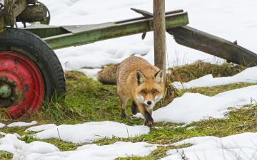 Картинка животные лисы лиса снег