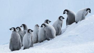 обоя животные, пингвины, снег