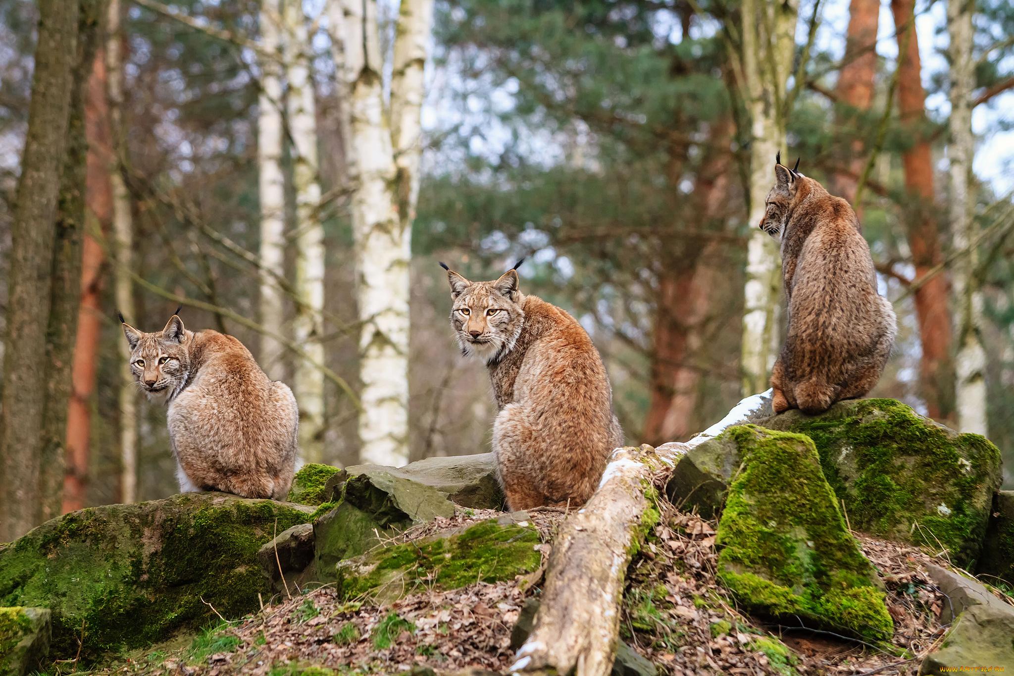 рысь, охота, лес без смс