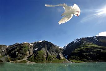 Картинка животные Чайки бакланы крачки чайка полет