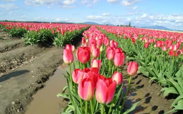 Картинка цветы тюльпаны много ряды поле