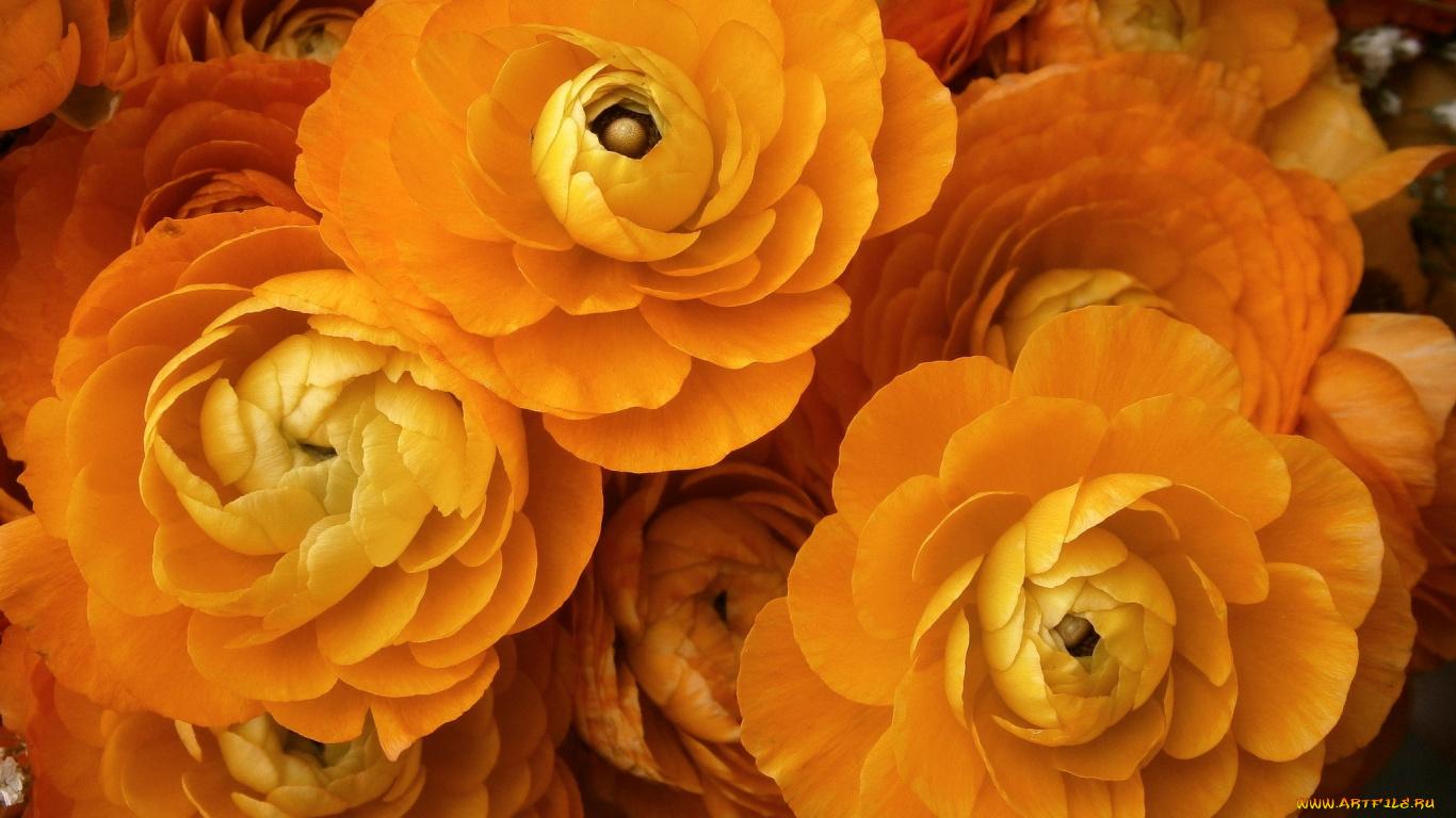 Цветы оранжевые лютик без смс