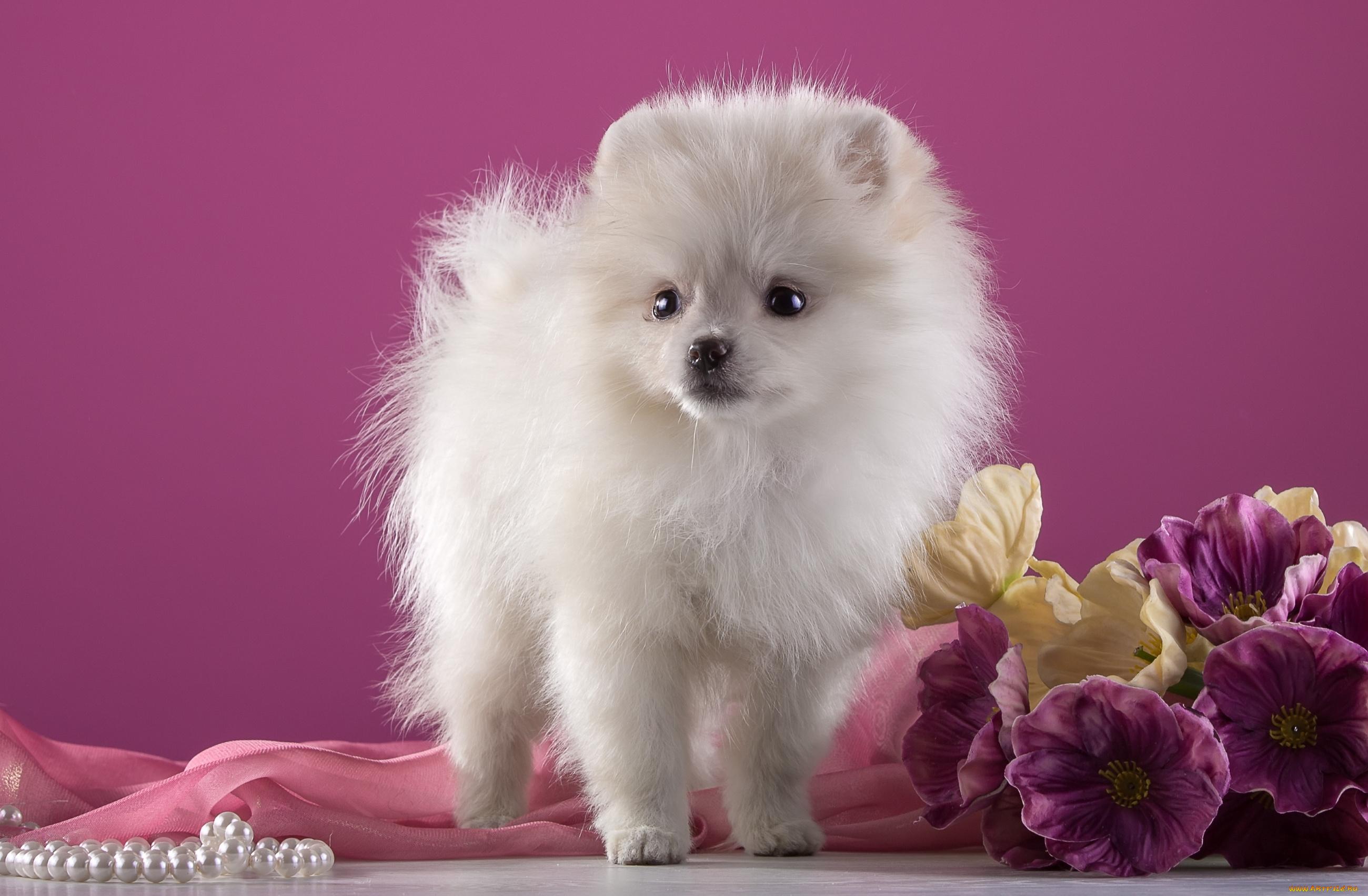белые собаки щенки животные розовый фон  № 2918041  скачать