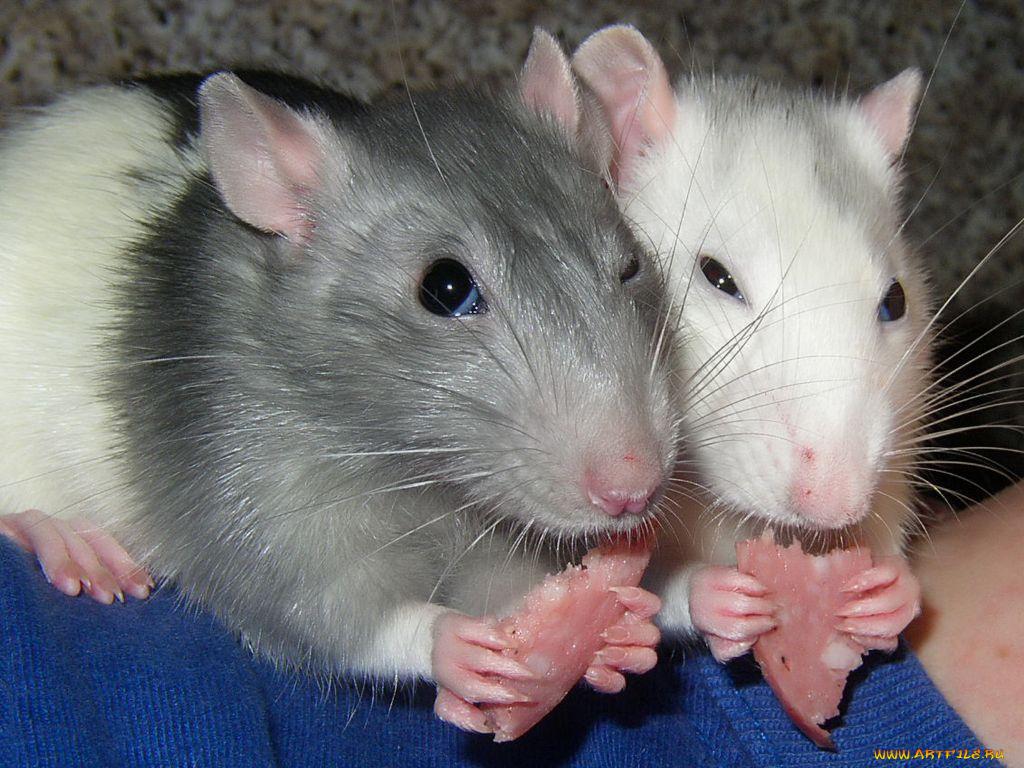 Новогодняя открытка, смешные картинки крыс с надписями