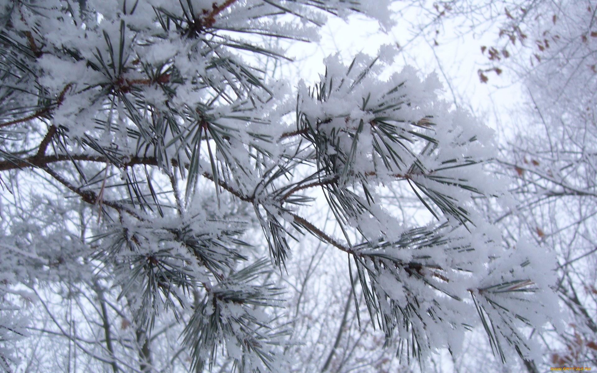 Сосны в снегу бесплатно