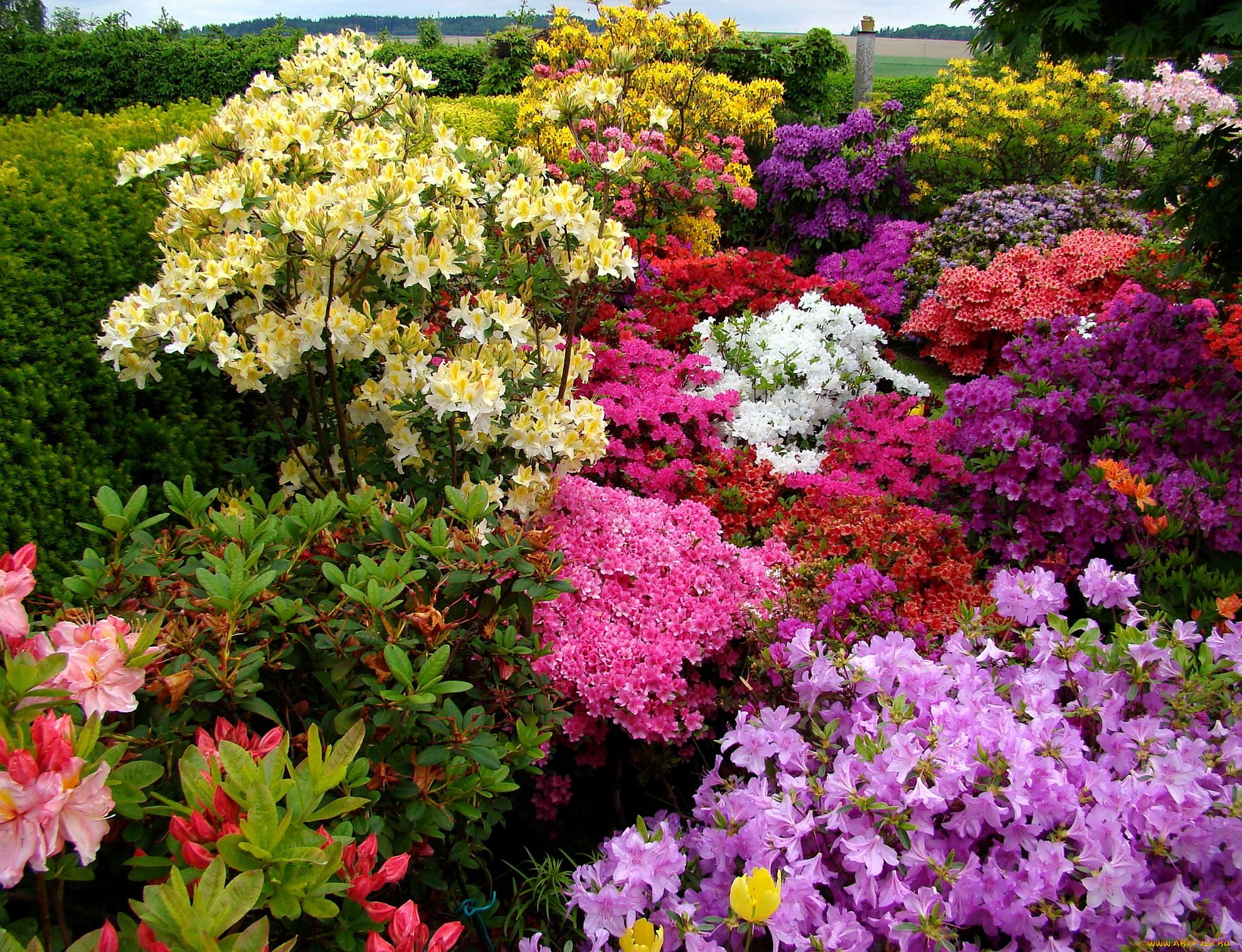 Высокие клумбовые цветы фото