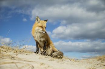 Картинка животные лисы лисичка