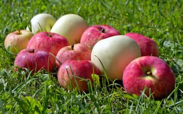 обоя еда, Яблоки, капли, яблоки, трава