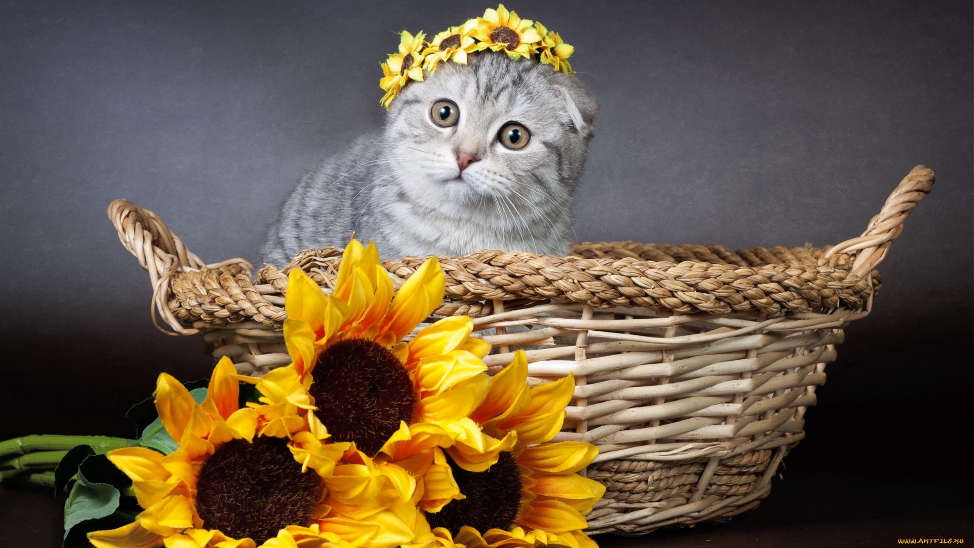 картинка кот и подсолнух наказывали надеванием серой