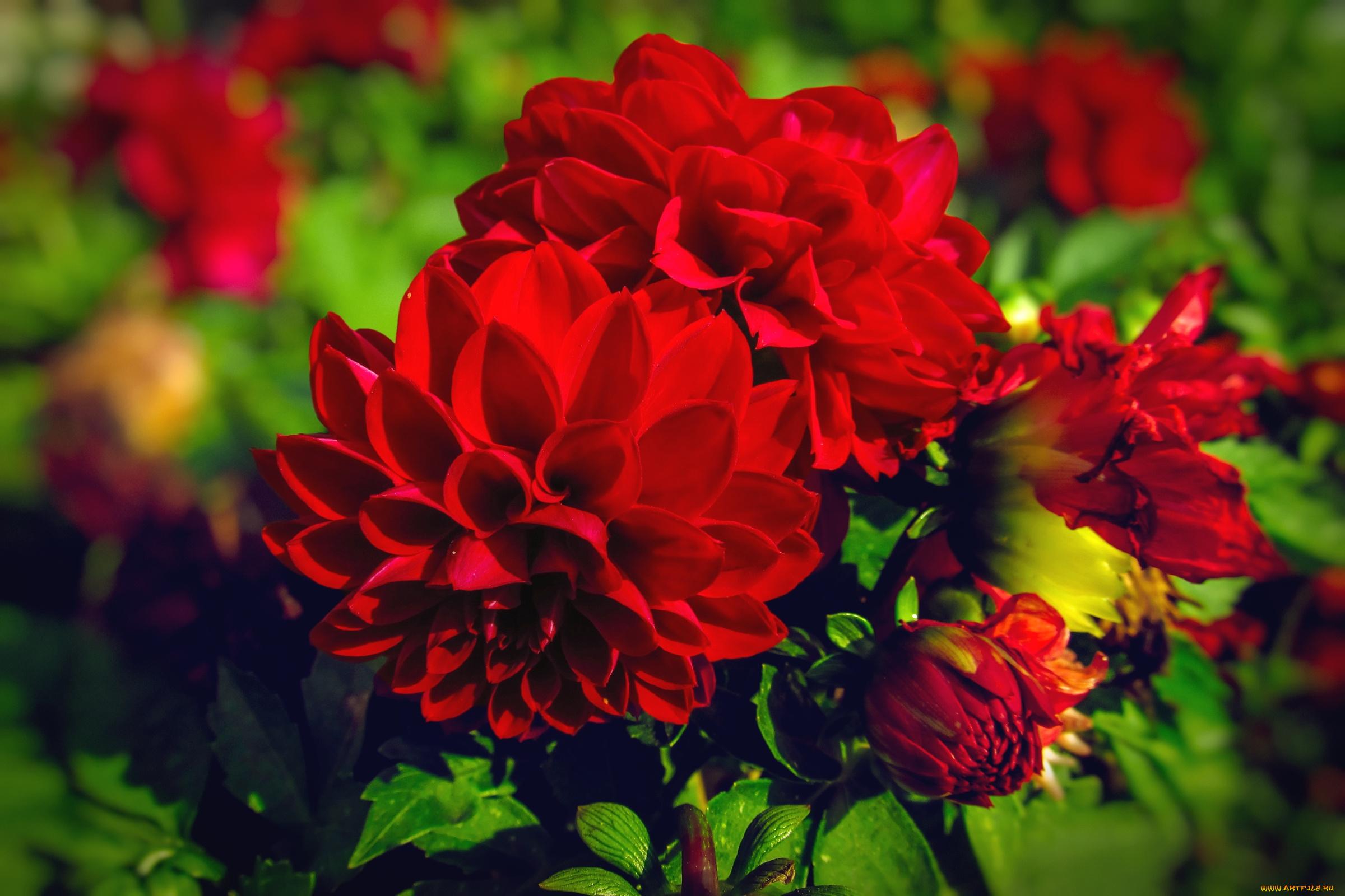Красный цветок георгин скачать