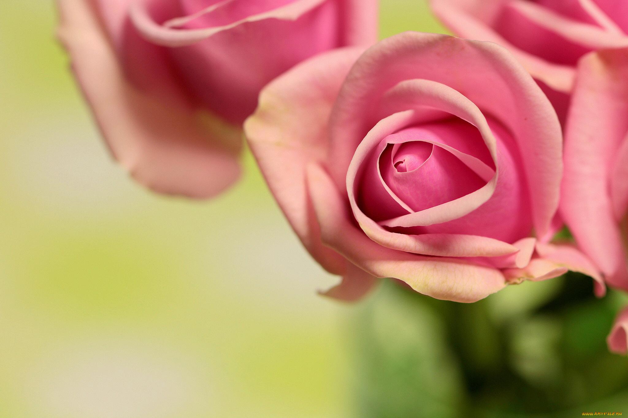 роза бутон макро бесплатно
