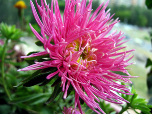 обоя цветы, астры, розовый