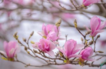 обоя цветы, магнолии, магнолия