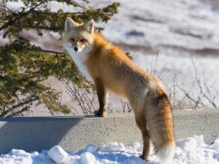 обоя животные, лисы, взгляд, лиса, рыжая, зима
