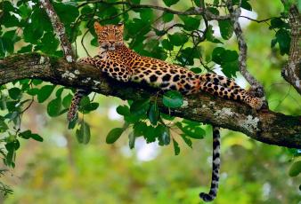 Картинка животные леопарды боке ветка леопард джунгли отдых листва