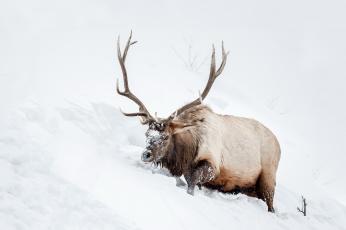 обоя животные, олени, олень, снег